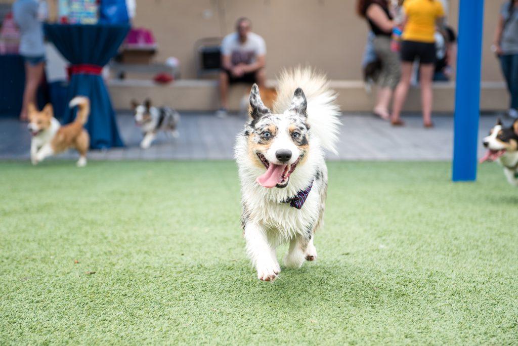 Dog Running Corgi Puppy Pupper | Carter the Corgi Birthday Party Baseball Theme Orlando Canine Country Club Anna Christine Events Cute